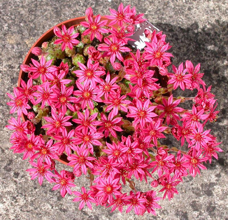Sempervivum-Falzarego-0124.jpeg