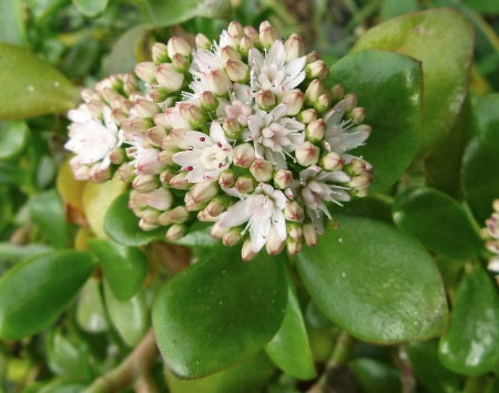 crassula_ovata_reversion_fl.jpg