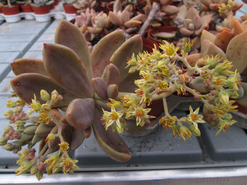 graptopetalum_sp_1.jpg