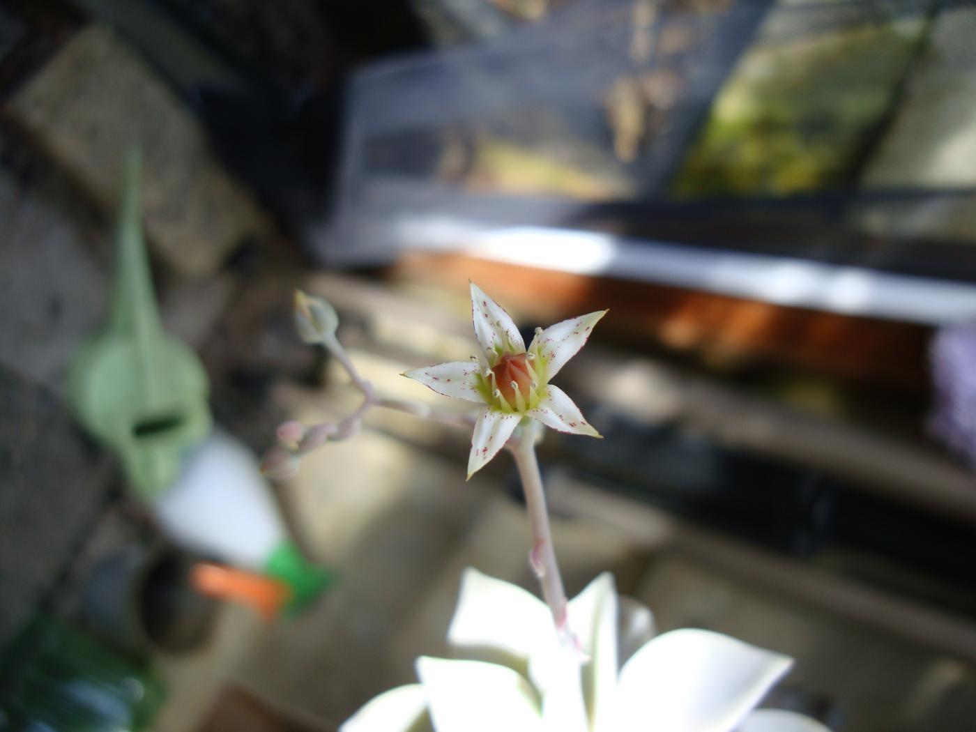 Graptopetalum-paraguayensis-324-1_20130702-1243.jpeg