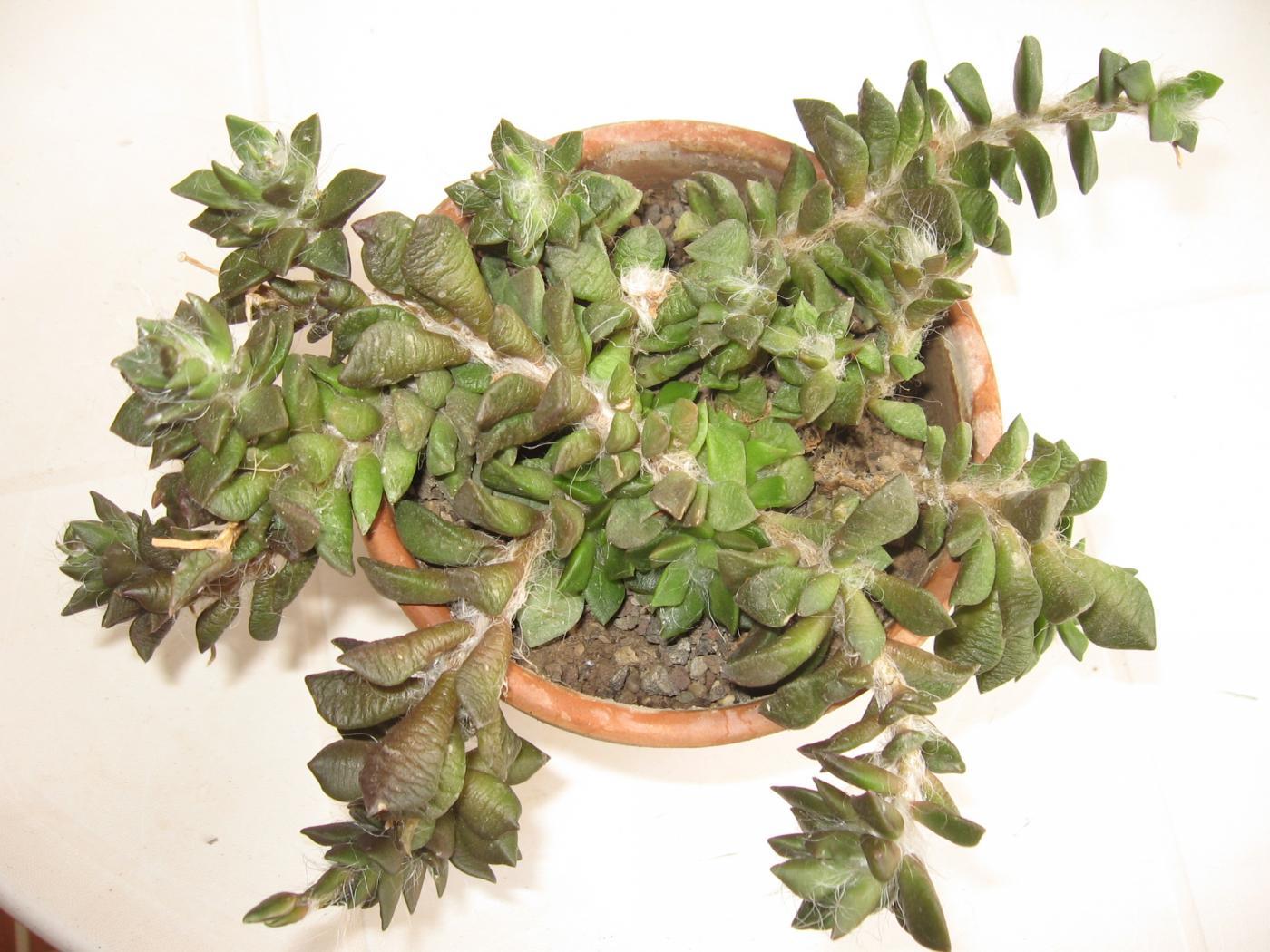 Anacampseros-rufescens-plante.jpeg