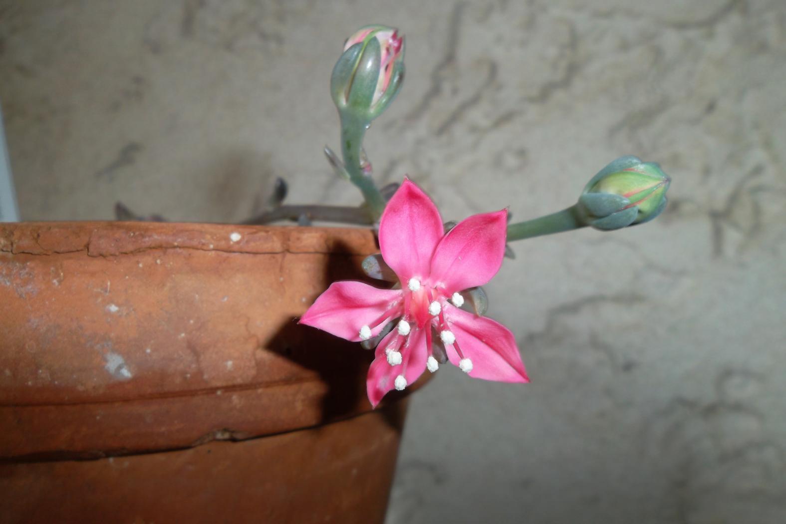 Graptopetalum-bellum-fleurs_-juin-2013.jpeg
