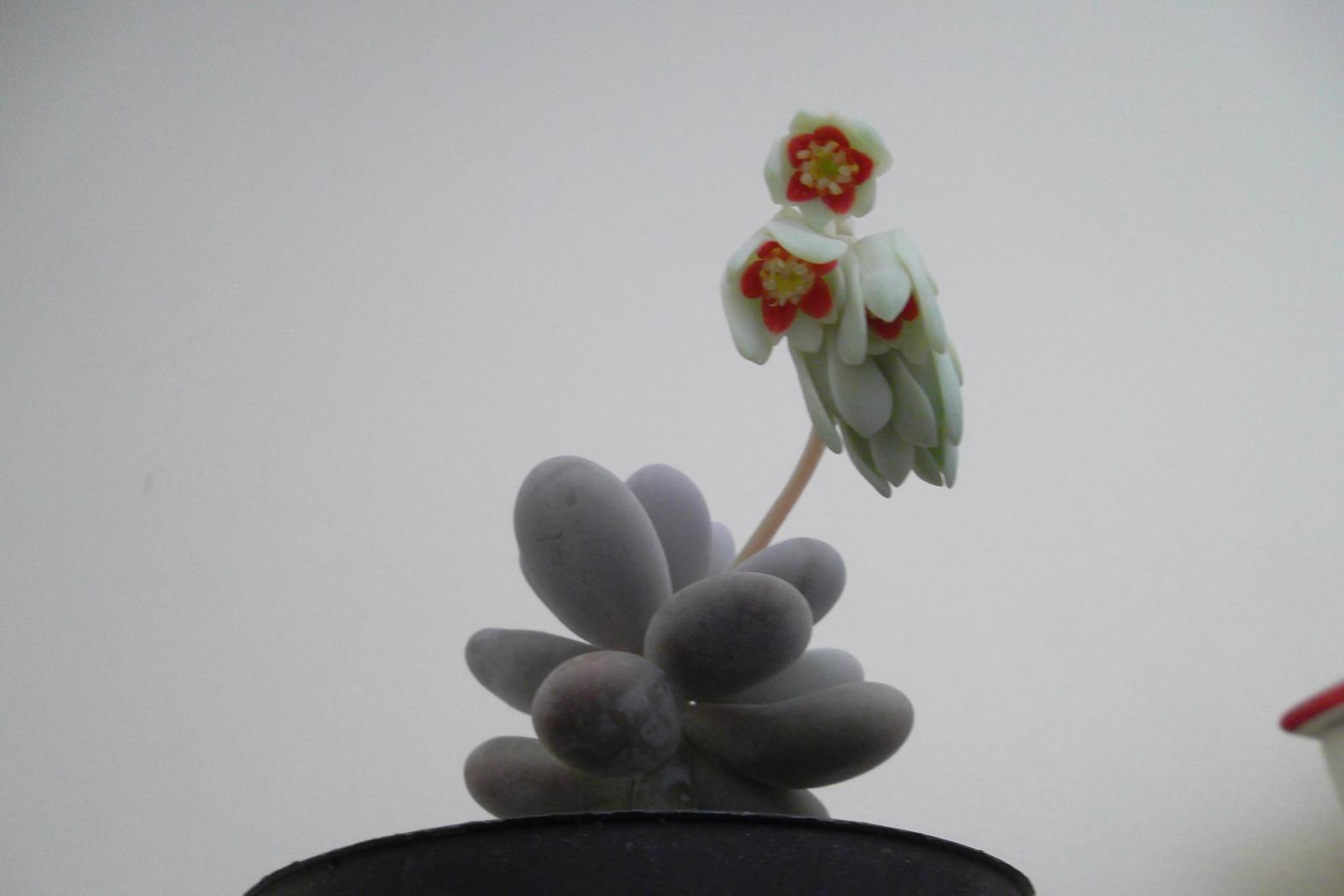 Pachyphytum-oviferum-en-fleurs-2.jpeg
