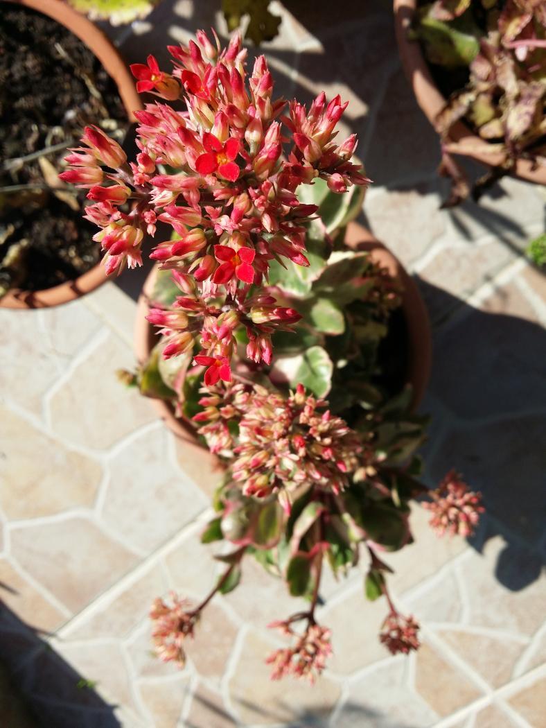 blossfeldiana-marginata.jpeg