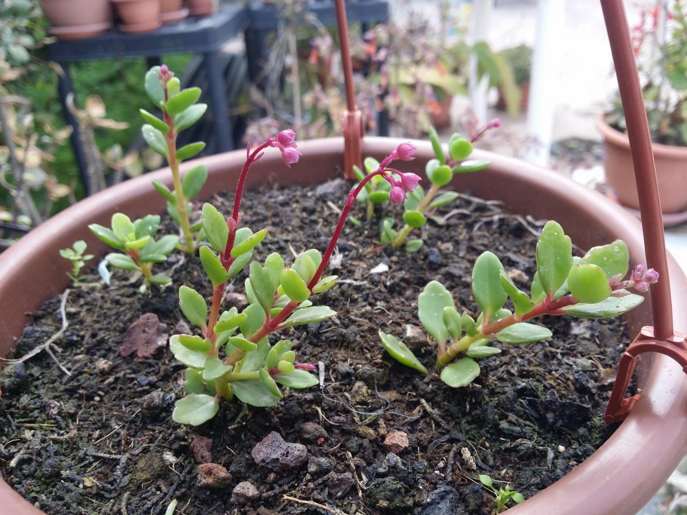 gracilipes-x-uniflora.jpeg