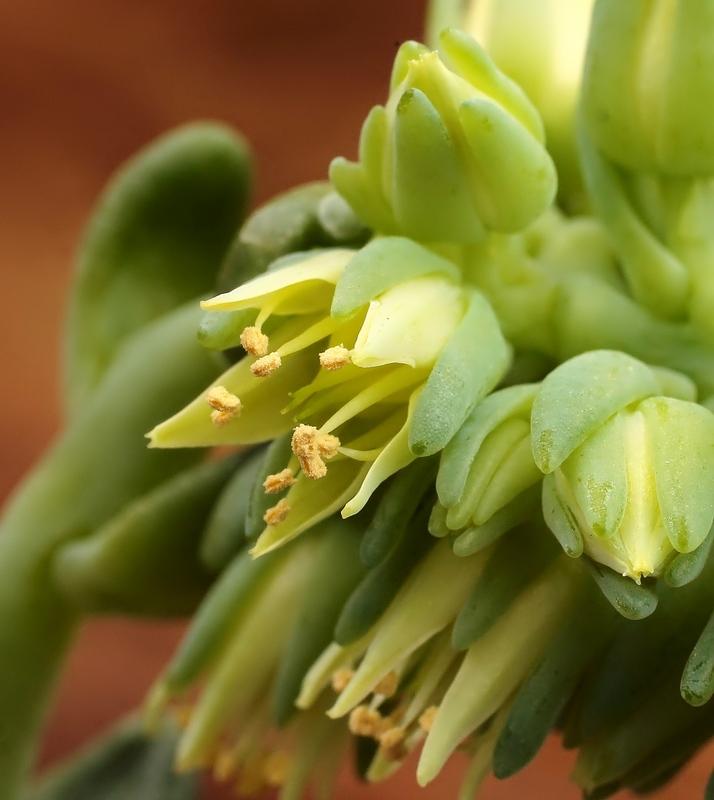 Cremnophila-linguifolia-2009-265-3780-1-3.jpg