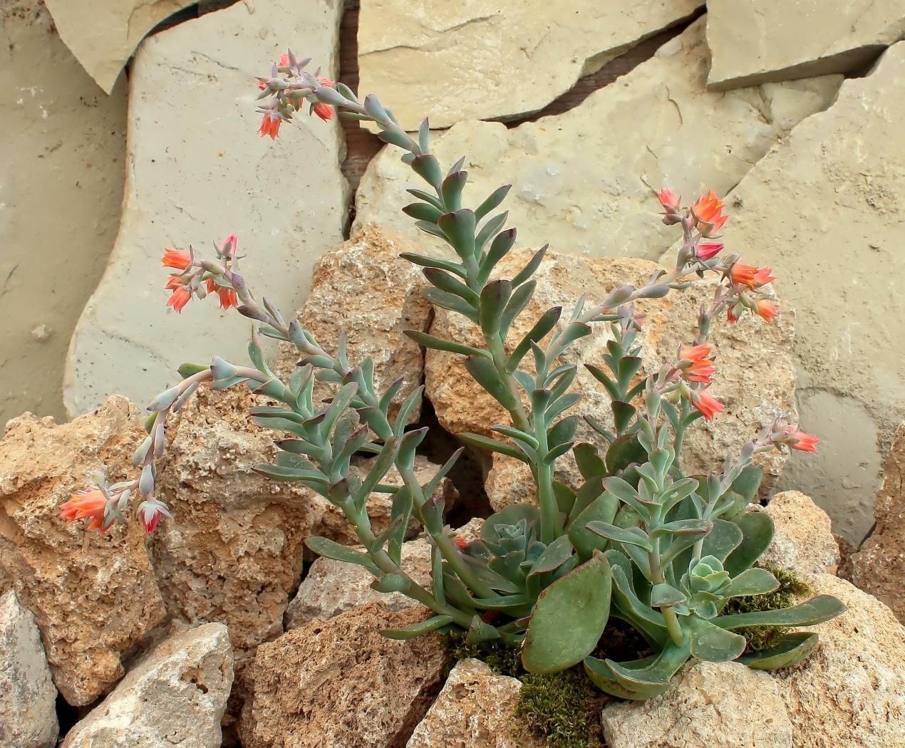 Echeveria-fulgens-var_-obtusifolia-2009-142-3925-3-3.jpeg