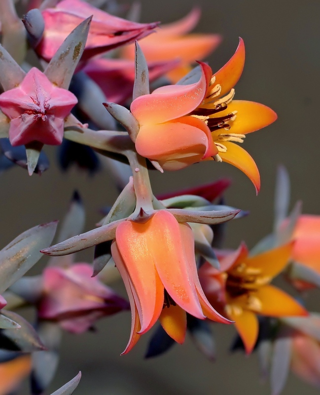 Echeveria-rubromarginata-2011-107-3859-1-4.jpg