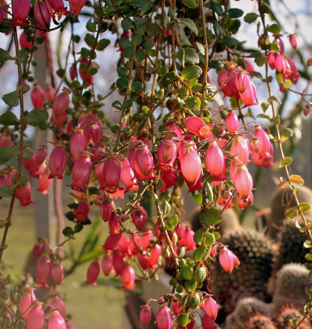 Kalanchoe-uniflora-2.jpeg