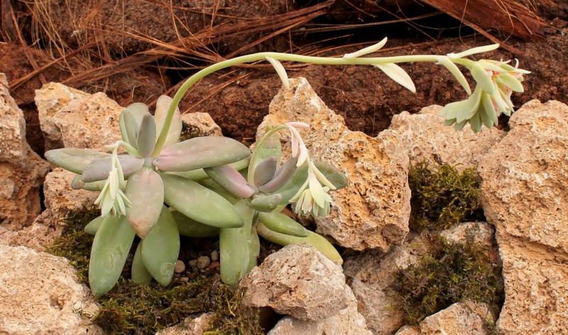 Pachyphytum-werdermannii-2009-223-3871-2-2.jpg