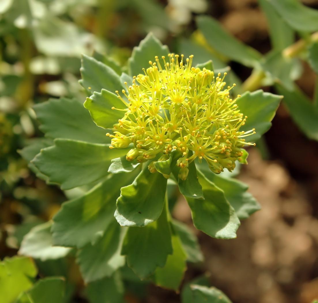 Rhodiola-ishidae-2.jpeg