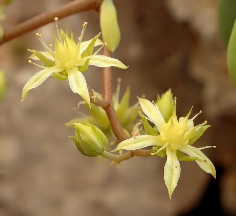 Sedum-allantoides-Goldii-1992-3-3974-1-2.jpg
