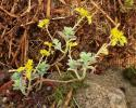 mini_Sedum-palmeri-2010-115-4.jpeg