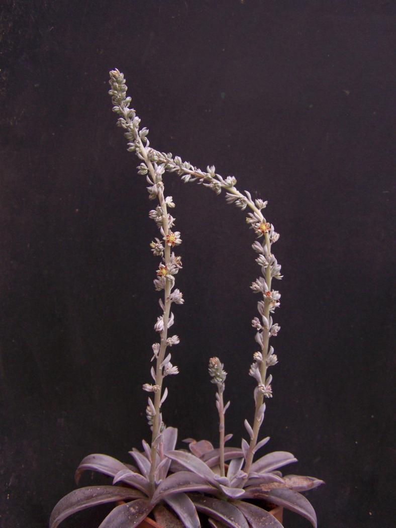 Thompsonella-minutiflora1.jpeg