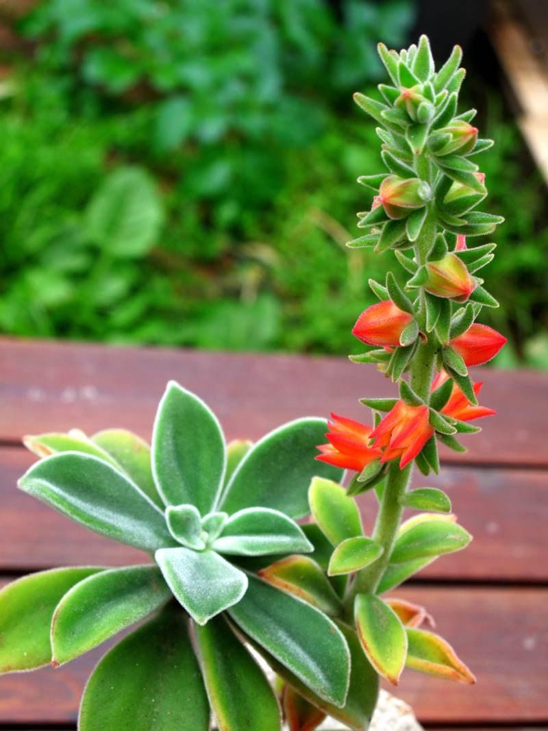 Echeveria-pubescens.jpg